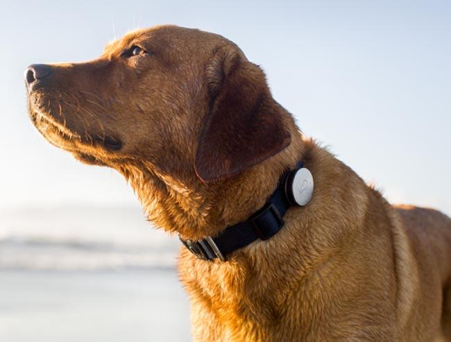 Collar Whistle Dog: Rastrea A Tu Perro Desde Tu Smartphone